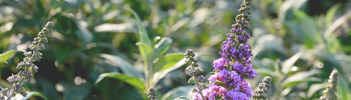 Photo of purple flowering shrubs