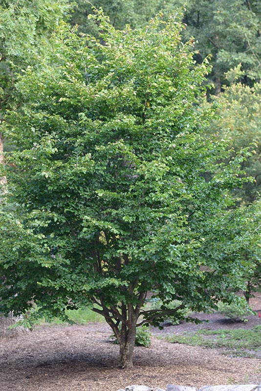 Photo of a Persian Parrotia