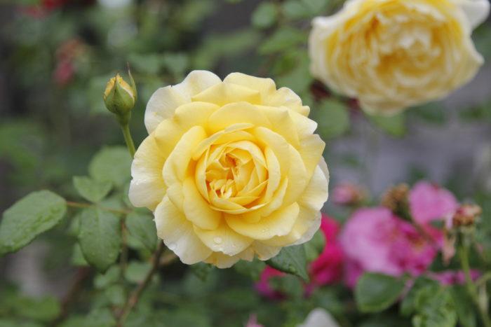 Frisella Nursery Roses St. Louis