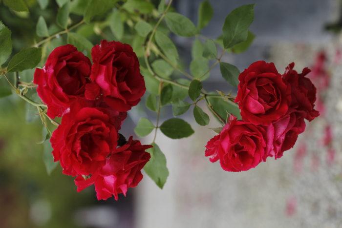 Frisella Nursery Roses Landscaping St. Louis