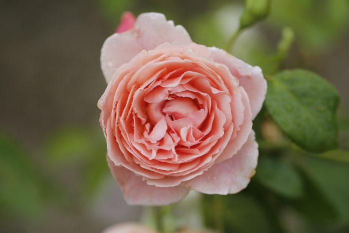 Frisella Nursery Landscaping Roses St. Louis