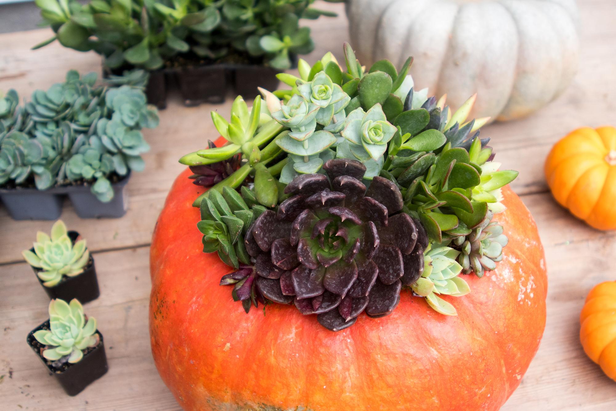 Fall Workshop St. Louis Succulent Pumpkin