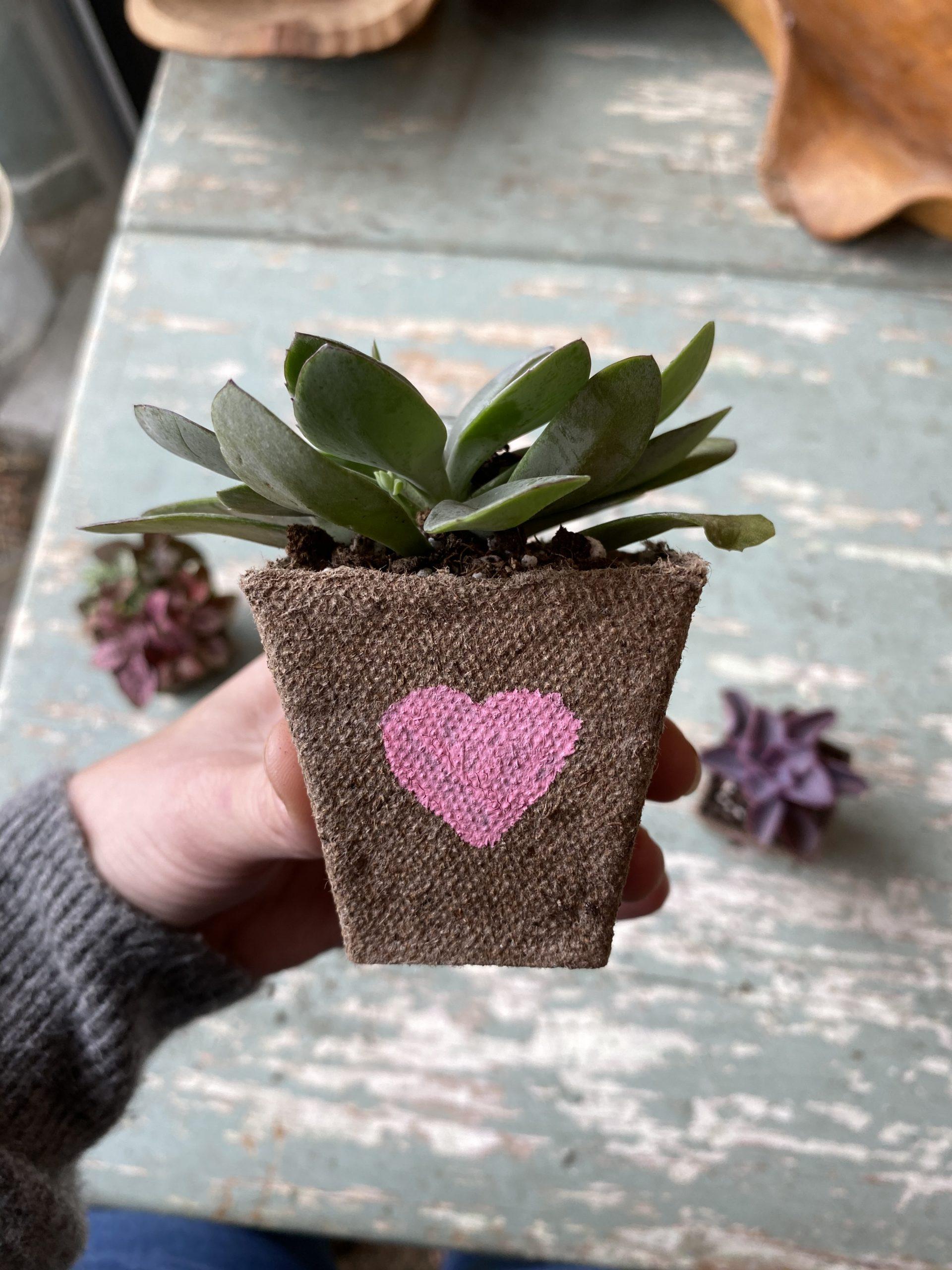 Jiffy Pot succulent Valentine