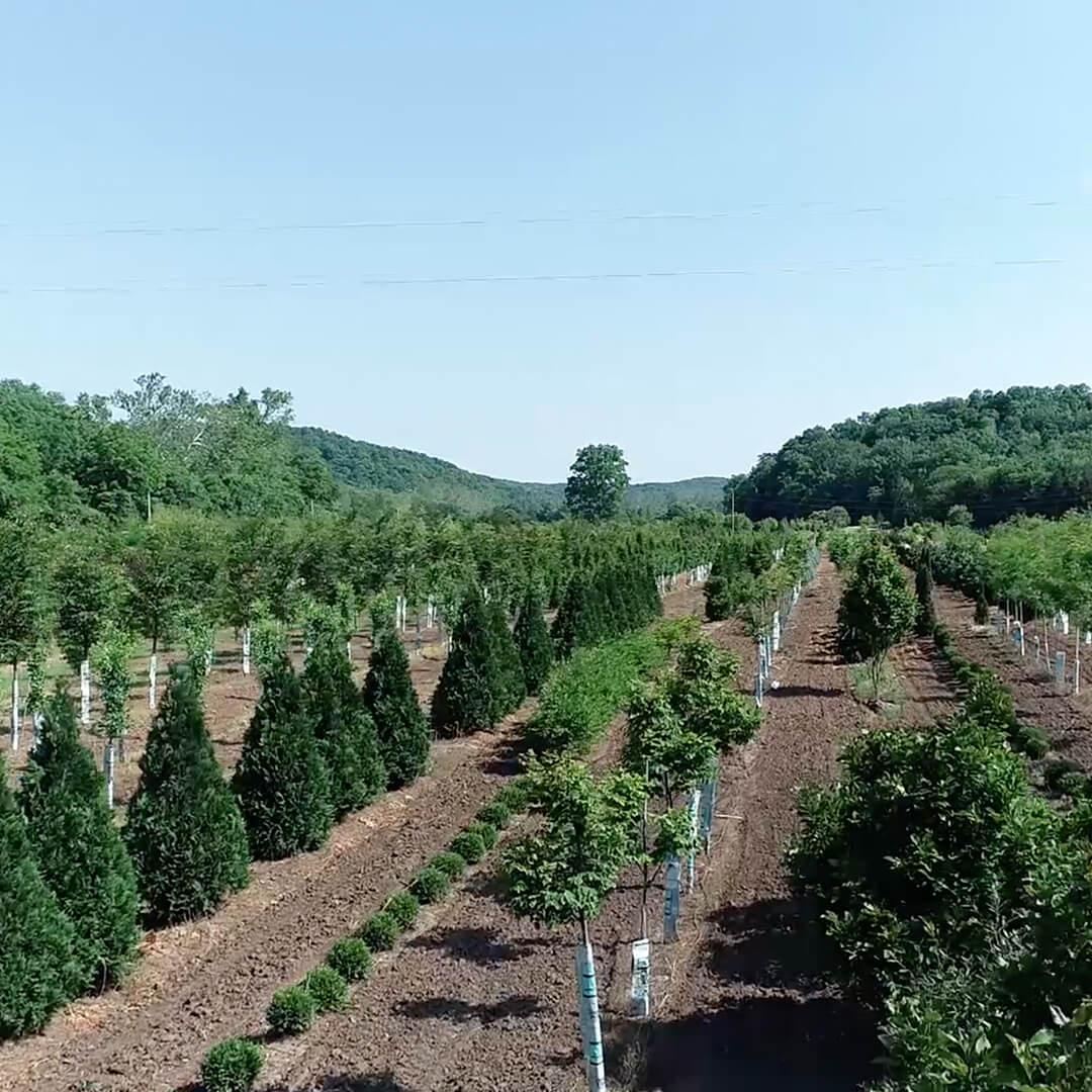 Looking down a path of trees on Frisella Nursery's Tree Farm